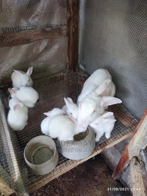 9 Hyla Rabbit Weaners   Livestock & Poultry for sale in Kwara State, Ilorin West