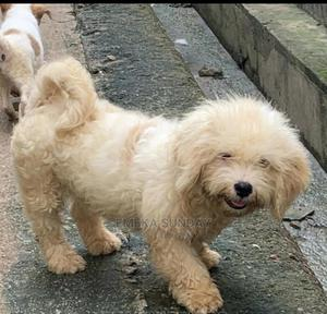 3-6 Month Male Purebred Lhasa Apso   Dogs & Puppies for sale in Abuja (FCT) State, Central Business District