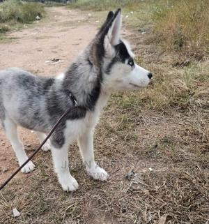 1-3 Month Female Purebred Siberian Husky | Dogs & Puppies for sale in Edo State, Benin City