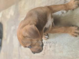 0-1 Month Female Purebred Boerboel | Dogs & Puppies for sale in Lagos State, Yaba