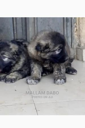 1-3 Month Female Purebred Caucasian Shepherd | Dogs & Puppies for sale in Adamawa State, Yola South