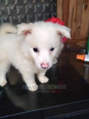 1-3 Month Male Purebred American Eskimo   Dogs & Puppies for sale in Lagos State, Agege