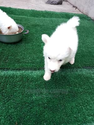 1-3 Month Male Purebred American Eskimo   Dogs & Puppies for sale in Oyo State, Oluyole