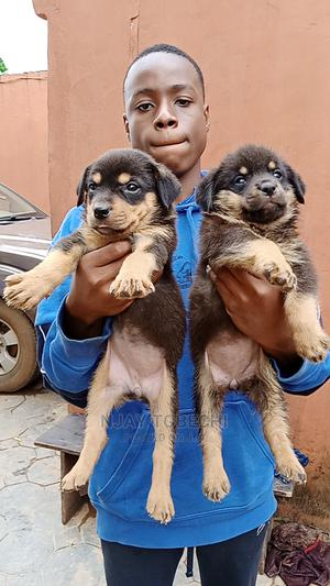 0-1 Month Female Purebred Rottweiler   Dogs & Puppies for sale in Lagos State, Alimosho