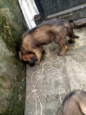1-3 Month Female Mixed Breed Caucasian Shepherd | Dogs & Puppies for sale in Rivers State, Port-Harcourt