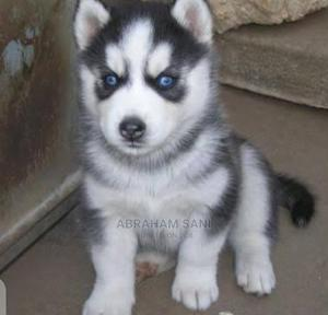 1-3 Month Female Purebred Siberian Husky   Dogs & Puppies for sale in Lagos State, Epe