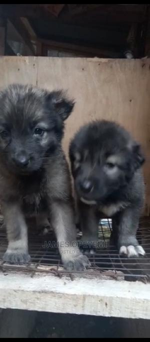 1-3 Month Female Purebred Caucasian Shepherd   Dogs & Puppies for sale in Lagos State, Abule Egba
