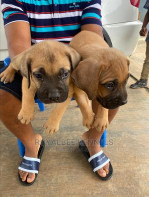 1-3 month Male Purebred Boerboel   Dogs & Puppies for sale in Lagos State, Ipaja