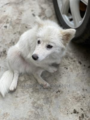 3-6 Month Male Purebred American Eskimo   Dogs & Puppies for sale in Lagos State, Ikeja