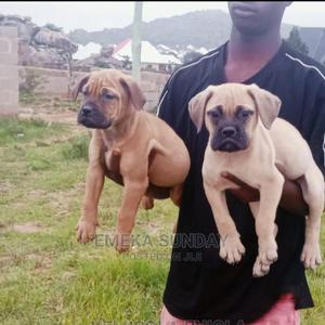 1-3 month Male Purebred Boerboel   Dogs & Puppies for sale in Abuja (FCT) State, Central Business District