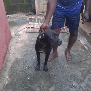 3-6 Month Male Purebred Boerboel | Dogs & Puppies for sale in Lagos State, Alimosho