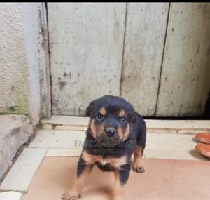 1-3 month Female Purebred Rottweiler | Dogs & Puppies for sale in Abuja (FCT) State, Central Business District