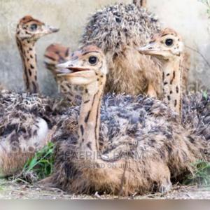 Baby Ostrich | Livestock & Poultry for sale in Kaduna State, Kaduna / Kaduna State