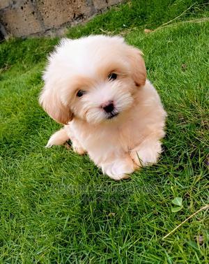 1-3 Month Male Purebred Lhasa Apso | Dogs & Puppies for sale in Nasarawa State, Karu-Nasarawa