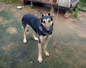 1+ Year Male Purebred German Shepherd | Dogs & Puppies for sale in Ondo State, Akure
