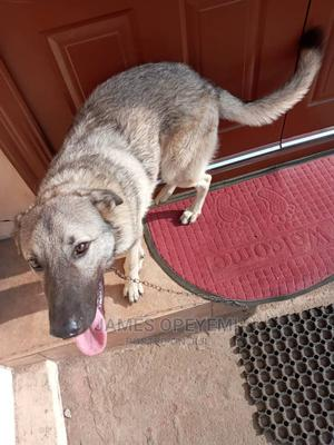 6-12 Month Female Purebred German Shepherd   Dogs & Puppies for sale in Lagos State, Magodo