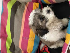 1-3 Month Male Purebred Lhasa Apso | Dogs & Puppies for sale in Lagos State, Surulere