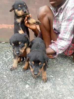0-1 Month Female Purebred Rottweiler   Dogs & Puppies for sale in Akwa Ibom State, Uyo