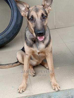 6-12 month Female Purebred German Shepherd   Dogs & Puppies for sale in Lagos State, Ikotun/Igando