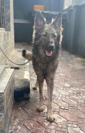 6-12 Month Male Mixed Breed Caucasian Shepherd | Dogs & Puppies for sale in Rivers State, Port-Harcourt
