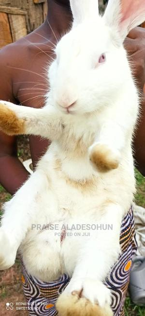 Big Rabbit For Sale   Livestock & Poultry for sale in Ondo State, Akure
