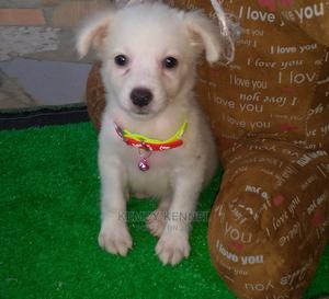 1-3 Month Male Purebred American Eskimo | Dogs & Puppies for sale in Oyo State, Egbeda