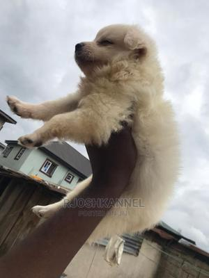 1-3 Month Female Purebred American Eskimo | Dogs & Puppies for sale in Lagos State, Shomolu