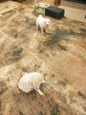 3-6 Month Female Purebred American Eskimo   Dogs & Puppies for sale in Lagos State, Alimosho