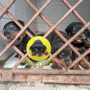 0-1 Month Female Purebred Rottweiler   Dogs & Puppies for sale in Rivers State, Port-Harcourt