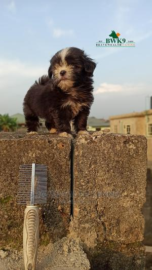 1-3 Month Male Purebred Lhasa Apso   Dogs & Puppies for sale in Lagos State, Ajah