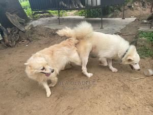 1+ Year Female Purebred American Eskimo | Dogs & Puppies for sale in Lagos State, Ikorodu
