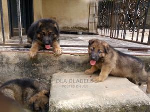 1-3 Month Female Purebred German Shepherd   Dogs & Puppies for sale in Lagos State, Ikorodu