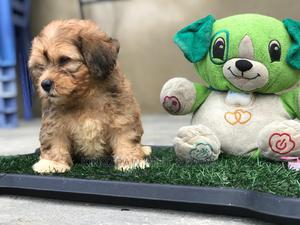 1-3 Month Male Purebred Lhasa Apso   Dogs & Puppies for sale in Lagos State, Agege