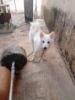 1+ Year Male Purebred American Eskimo | Dogs & Puppies for sale in Lagos State, Ikorodu