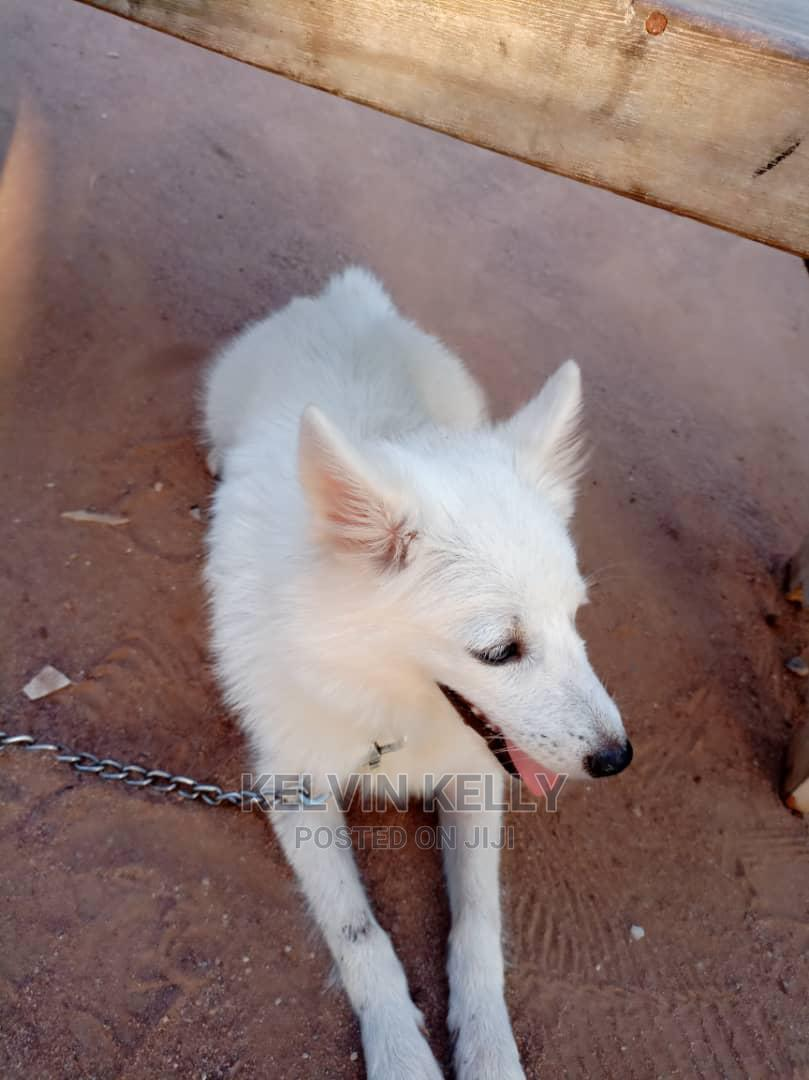 1+ Year Male Purebred American Eskimo | Dogs & Puppies for sale in Ikorodu, Lagos State, Nigeria