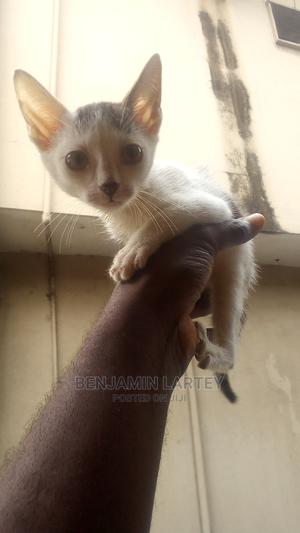 1-3 Month Male Purebred American Shorthair | Cats & Kittens for sale in Lagos State, Ajah