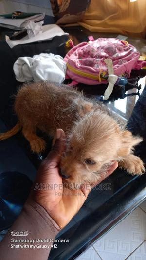 1-3 Month Female Mixed Breed Chihuahua | Dogs & Puppies for sale in Abuja (FCT) State, Central Business District
