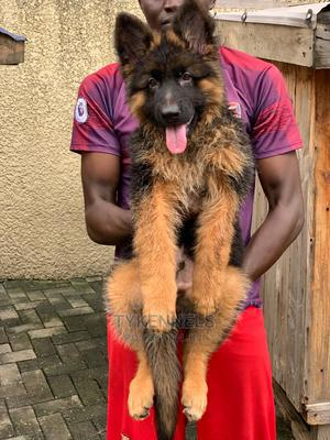 3-6 Month Female Purebred German Shepherd   Dogs & Puppies for sale in Lagos State, Ajah