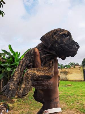 1-3 Month Female Purebred Boerboel   Dogs & Puppies for sale in Akwa Ibom State, Uyo
