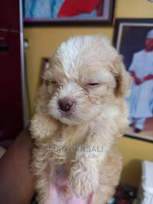 1-3 Month Male Purebred Lhasa Apso | Dogs & Puppies for sale in Kwara State, Ilorin South