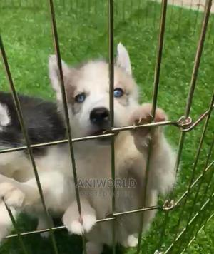 1-3 Month Female Purebred Siberian Husky | Dogs & Puppies for sale in Lagos State, Ikeja