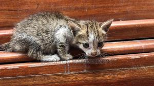 0-1 Month Female Mixed Breed Cat | Cats & Kittens for sale in Lagos State, Victoria Island