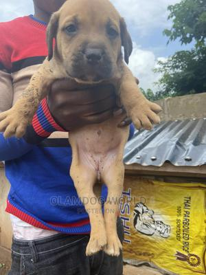 0-1 Month Female Mixed Breed Boerboel | Dogs & Puppies for sale in Ekiti State, Ado Ekiti