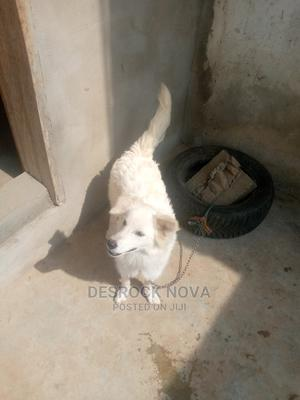 3-6 Month Male Purebred Samoyed | Dogs & Puppies for sale in Lagos State, Alimosho