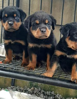 1-3 Month Female Purebred Rottweiler | Dogs & Puppies for sale in Lagos State, Ifako-Ijaiye