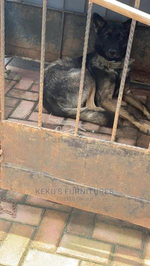 1+ Year Male Purebred German Shepherd | Dogs & Puppies for sale in Lagos State, Ajah