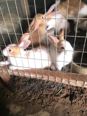 Dutch and Chinchilla | Livestock & Poultry for sale in Ogun State, Sagamu