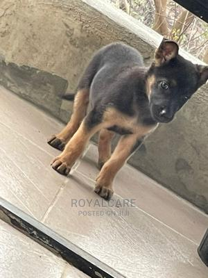 1-3 Month Male Purebred German Shepherd   Dogs & Puppies for sale in Ogun State, Abeokuta South