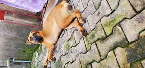 1+ Year Female Purebred Boerboel | Dogs & Puppies for sale in Imo State, Owerri