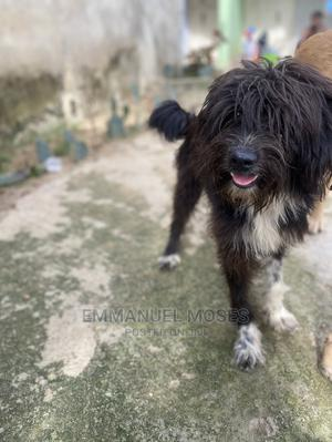 6-12 Month Male Purebred Lhasa Apso | Dogs & Puppies for sale in Abuja (FCT) State, Central Business District